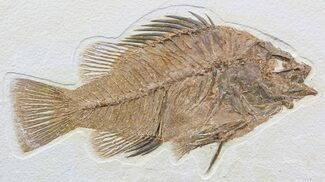 "Buy Impressive, 7.7"" Priscacara Fossil Fish - Wyoming - #48595"
