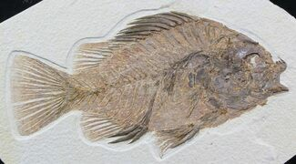 "Large, 9.2"" Priscacara Fossil Fish - Wyoming For Sale, #48596"