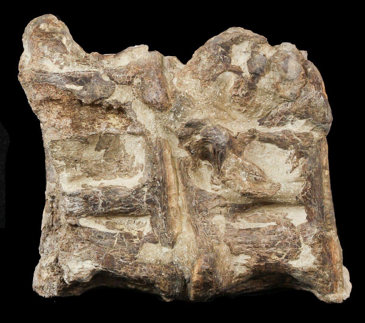 """2.4"""" Two Cretaceous Xiphactinus Vertebra - Kansas For Sale ..."""