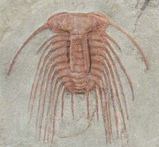 Buy Pair of Red Selenopetis Trilobites - Morocco - #49216