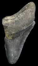"Buy Partial, Serrated 3.05"" Megalodon Tooth - Georgia - #48946"