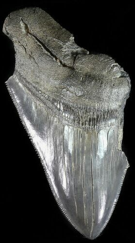 "Partial, Serrated, 4.42"" Fossil Megalodon Tooth"
