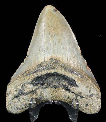"Bargain, 4.02"" Megalodon Tooth - North Carolina"