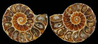 "Small Desmoceras Ammonite Pair - 1.6"" For Sale, #49844"