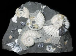 Deshayesites sp.  - Fossils For Sale - #50763
