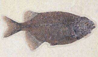 "5.9"" Phareodus Fossil Fish - Exceptional Specimen For Sale, #50792"