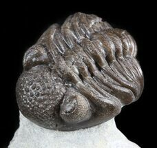 "Rare, 1.1"" Eifel Geesops Trilobite - Germany For Sale, #50609"