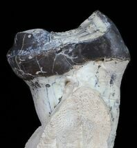 Brontotherium (Titanothere) - Fossils For Sale - #50799