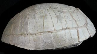"Nice, 5"" Fossil Tortoise (Stylemys) - South Dakota For Sale, #50816"