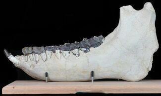 Brontotherium (Titanothere) - Fossils For Sale - #50814