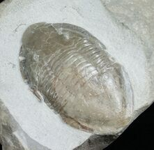 "Buy 3.3"" Isotelus Iowensis From Missouri (Reduced Price) - #4666"