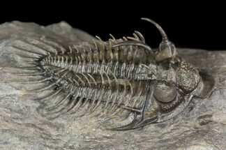 "1.8"" Spiny Comura Trilobite - Top Quality Preparation For Sale, #51860"