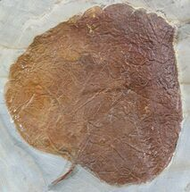 "2.7"" Fossil Leaf (Zizyphoides flabellum) - Montana For Sale, #52241"