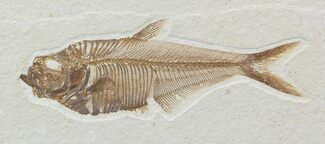 Diplomystus dentatus - Fossils For Sale - #52218