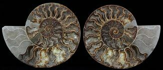 Cleoniceras cleon - Fossils For Sale - #51240