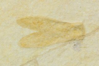 "1.8"" Jurassic Fossil Insect (Lacewing) - Solnhofen Limestone For Sale, #52502"