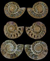 "Buy Bulk: 1.5"" Jurassic Cut/Polished Ammonites - 25 Pack - #52819"