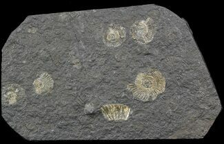 Dactylioceras - Fossils For Sale - #52899