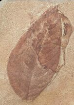 Polyptera manningii - Fossils For Sale - #53286