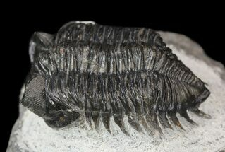 "Buy Bargain, 1.7"" Coltraneia - Bug Eyed Trilobite - #53551"