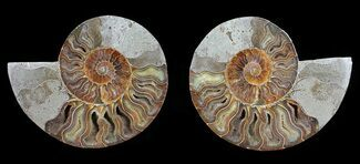 Cleoniceras - Fossils For Sale - #54309