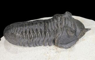 "2.95"" Morocconites Trilobite With Short Rostrum - Ofaten, Morocco For Sale, #54401"