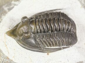 "1.35"" Diademaproetus Trilobite - Ofaten, Morocco For Sale, #54332"