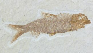 "2.2"" Knightia Fossil Fish - Wyoming For Sale, #55328"