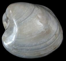 Polished Fossil Astarte Clam - Cretaceous For Sale, #55271