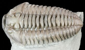 "Large, 1.45"" Flexicalymene Trilobite - Ohio For Sale, #55397"