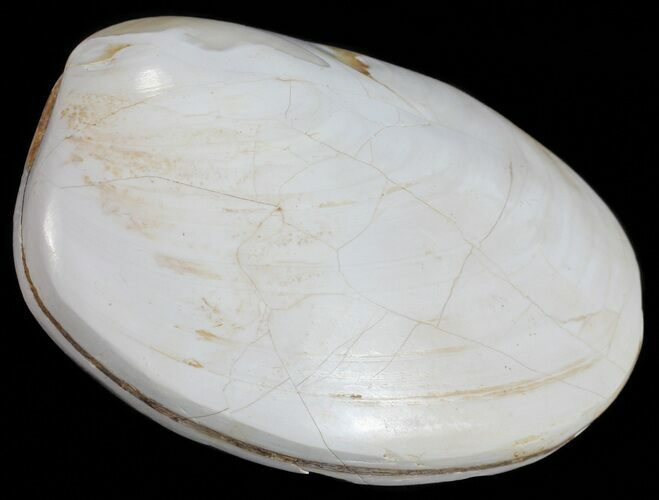 "2.6"" Wide Polished Fossil Clam - Jurassic"