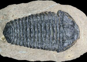 "Buy 2.8"" Calymene (With Shell) Trilobite - Tazarine, Morocco - #56047"