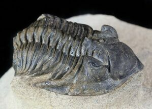 Metacanthina issoumourensis - Fossils For Sale - #55473