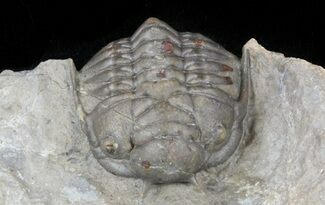 Crotalocephalus (Cyrtometopus) sp. - Fossils For Sale - #56253