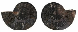 "2.5"" Cut & Polished Black Ammonite - Unusual Coloration For Sale, #55571"