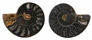 "3.4"" Split Black/Orange Ammonite Pair - Unusual Coloration For Sale, #55595"