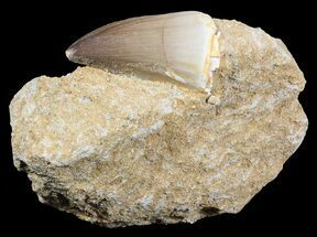 "Buy 1.9"" Mosasaur (Prognathodon) Tooth In Rock - #55807"