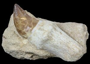 "3.4"" Rooted Mosasaur (Prognathodon) Tooth In Rock For Sale, #55829"
