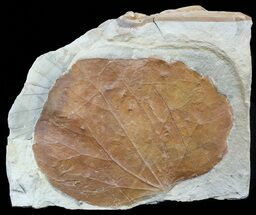 "3.8"" Detailed Fossil Leaf (Zizyphoides) - Montana For Sale, #56684"