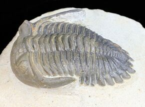 "Buy 2.2"" Brown Hollardops Trilobite - Foum Zguid, Morocco - #57544"