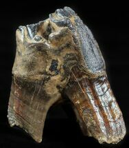 Stephanorhinus kirchbergensis - Fossils For Sale - #57819