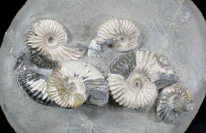 Iridescent Ammonite (Deschaesites) Cluster - Russia
