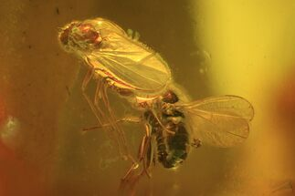 Detailed Fossil Fly (Diptera) In Baltic Amber For Sale, #58058