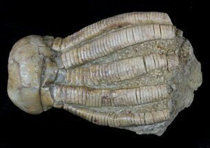 Phanocrinus bellulus - Fossils For Sale - #58266