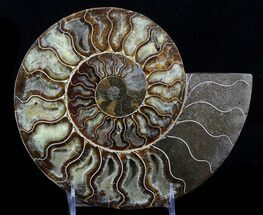 "9"" Cut Ammonite Fossil (Half) - Beautifully Agatized For Sale, #58274"
