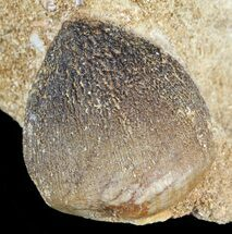 Igdamanosaurus (Globidens) Mosasaur Tooth In Rock For Sale, #51929