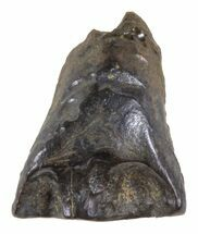 Leptoceratops gracilis - Fossils For Sale - #58491