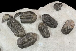 Large, Austerops Trilobite Mortality Plate - Jorf For Sale, #58934