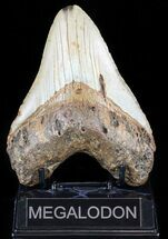 "Buy Bargain, 5.11"" Megalodon Tooth - North Carolina - #59020"