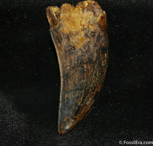 Highly Collectable Tyrannosaurus Rex (T-Rex) Tooth
